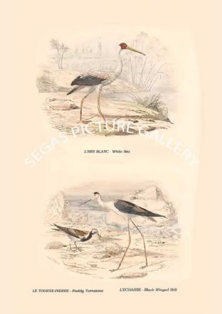 White Ibis, Ruddy Turnstone, Black-Winged Stilt
